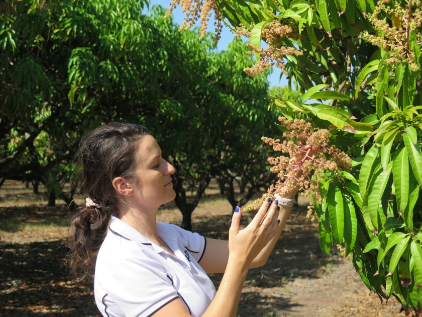 A women looks at mango flowers on a tree