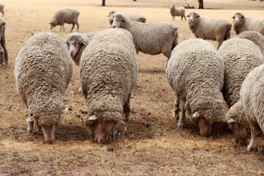 Sheep eating distributed stored feed during a drought.