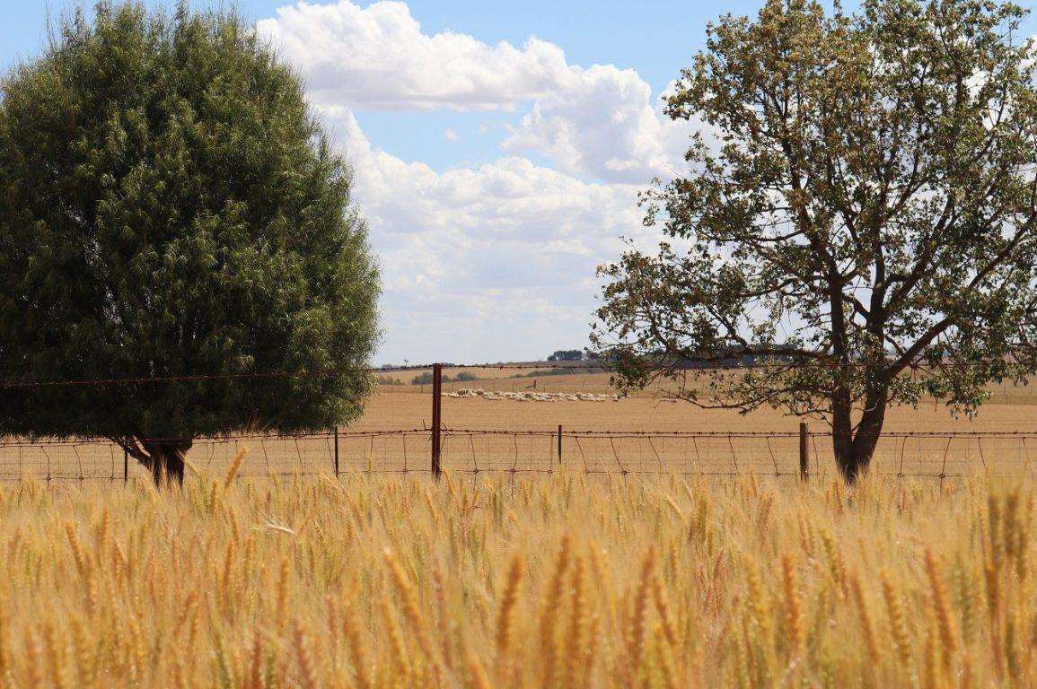 Sheep grazing a paddock at a mixed-enterprise farm.