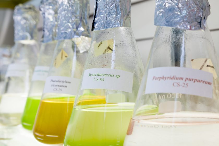 Five flasks containing coloured liquids, which are microalgae growing in culture.