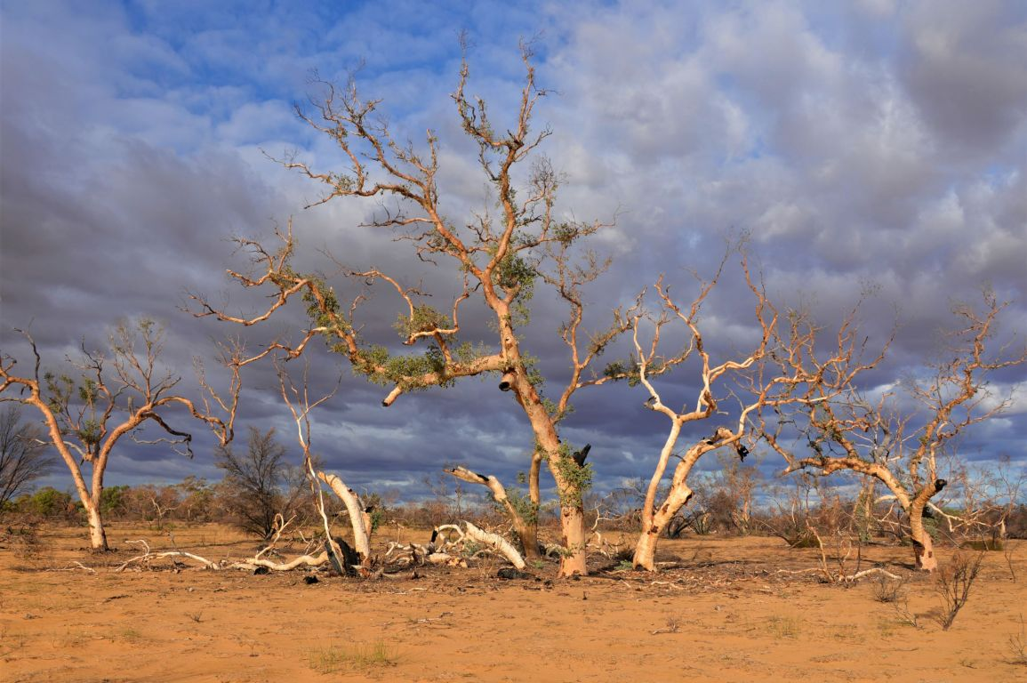 Trees in a desert, where there is evidence of resprouting and regrowth.