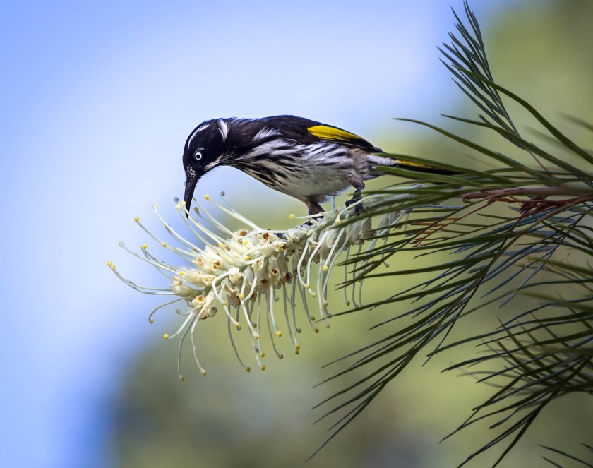 A black and white bird with yellow wings feeding on a white grevillea flower.