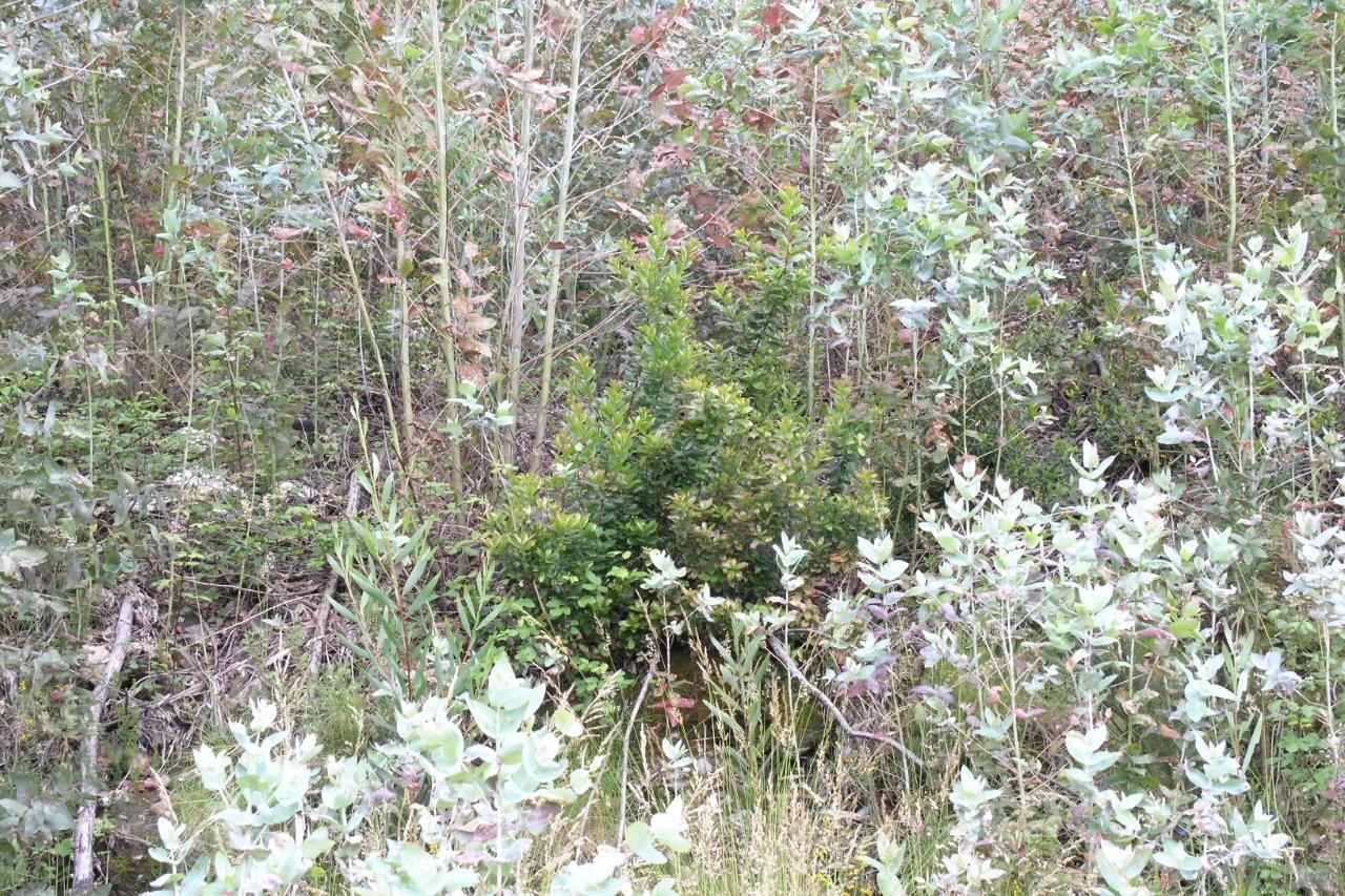 Arbustos nativos, entre eucaliptos de rebentação e de origem seminal
