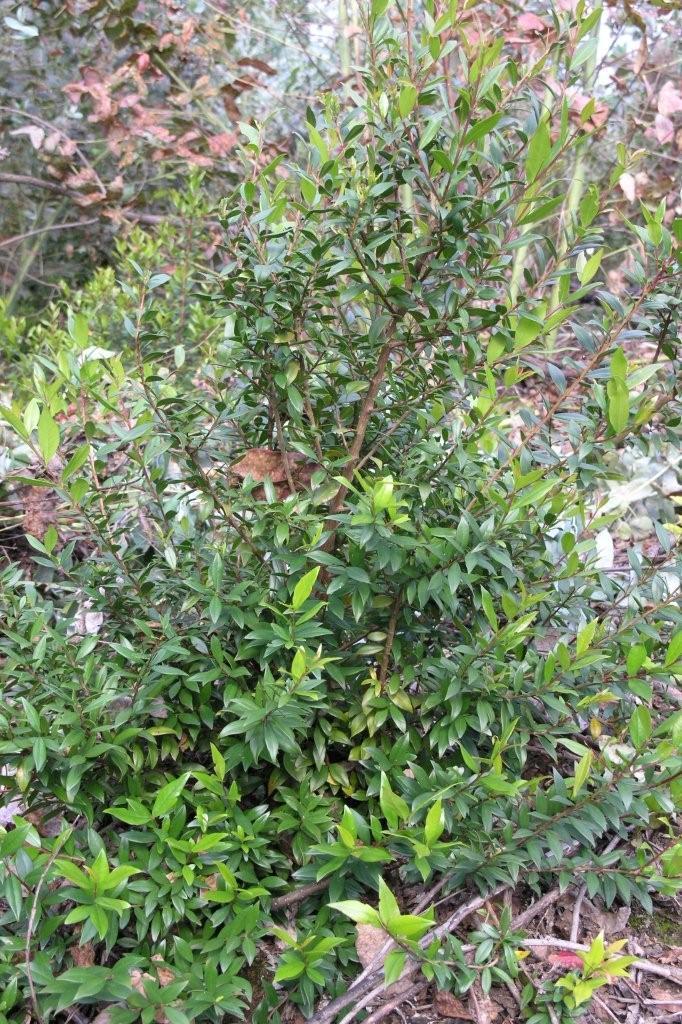 Murta, uma planta abundante por estas paragens
