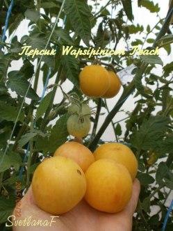 томат Wapsipinicon Peach