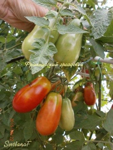 томат Французский гроздевой