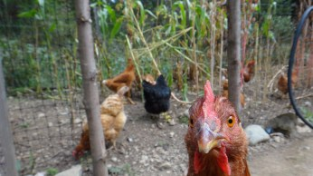 Chickens self harvesting their OWN food.