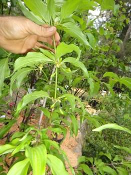 Cornelian Cherry fruit set