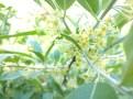 Autumn olives LOADED!