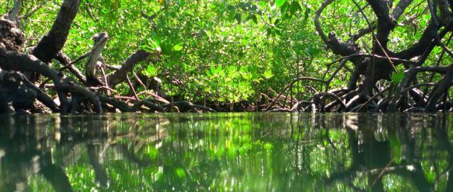 bosque manglar