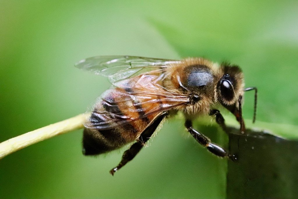 bee, honey bee, insect