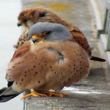 AmerKestrel_climate-and-hunting-1