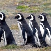 making perfect penguin