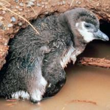 Flood_burrow_Chick-2