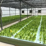 Summer Time Production Of Lettuce