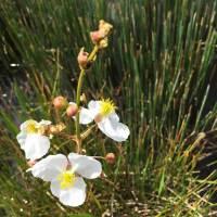 Duck-potato-flower-Environmental-Consluting-Vero-Beach