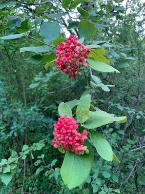 Viorne lantane, Viburnum lantana, fruits