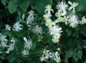 Clematis vitalba Fleurs