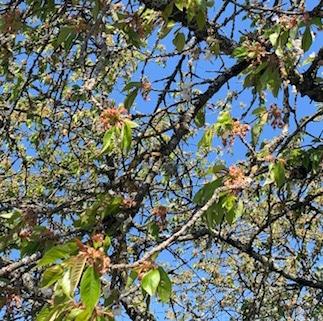 Fleur de Bach Cherry plum