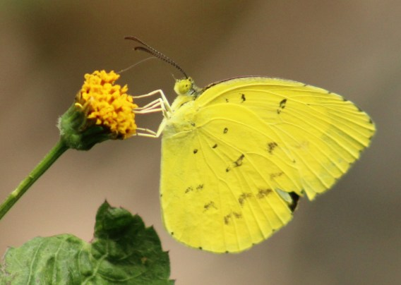 IMG_2284 yellow butterfly (cropped)