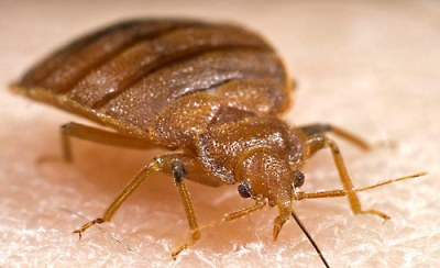 bedbugs and hotels