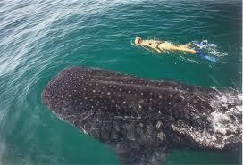 WhaleSharks_RivieraMaya