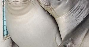 φώκιες