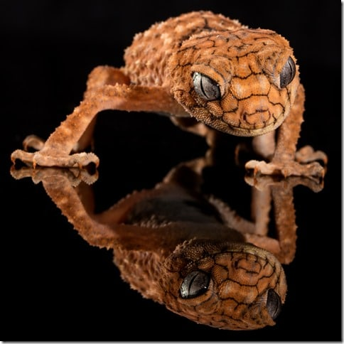 brown-lizard-and-reflection_800