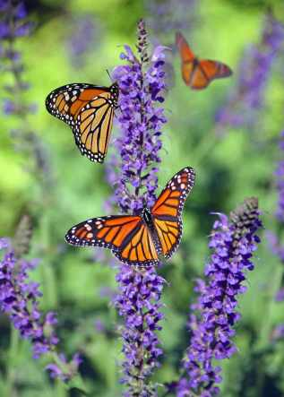 Papillons-et-heliotropes