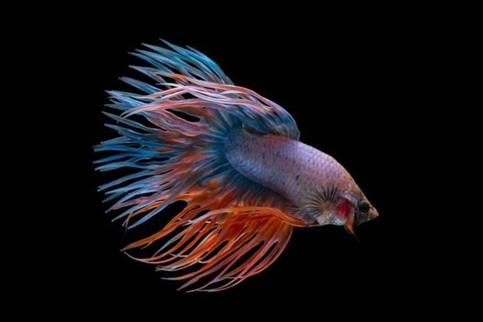 Ikan Hias Air Tawar - Ikan Cupang
