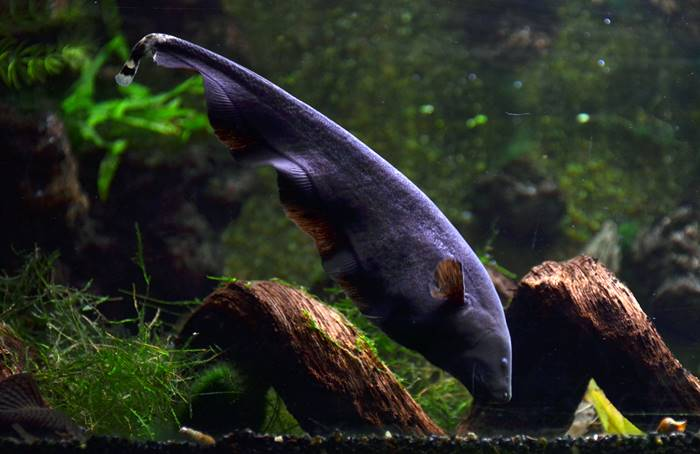 12 Jenis Ikan Hias Air Tawar Yang Mudah Dipelihara Untuk