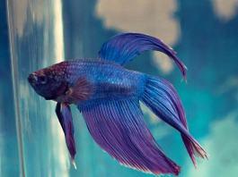 Budidaya Ikan Cupang