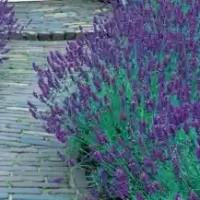 jual benih bunga lavender