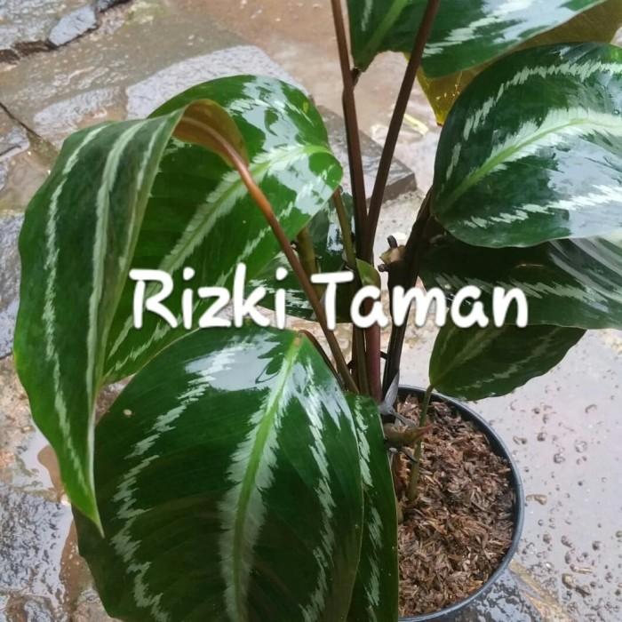 Jual Calathea Silver Back Black Indoor House Plants Kota Depok Rizki Taman Tokopedia
