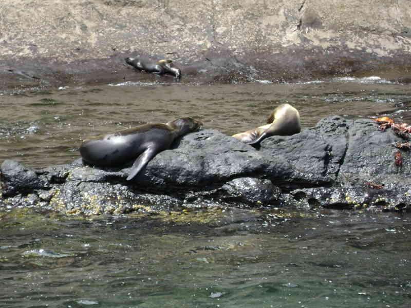 Lobos Marino en Santa Cruz, Galápagos