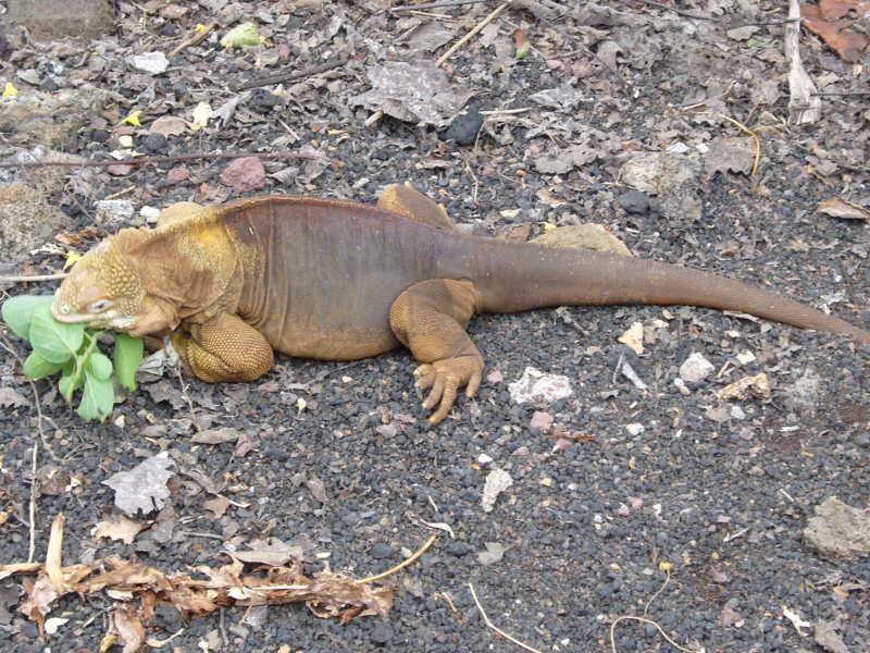 Iguana terrestre comiendo hojas.
