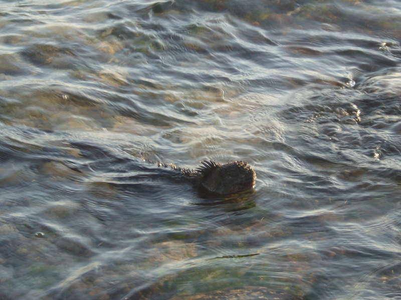 Iguana marina nadando en el mar.