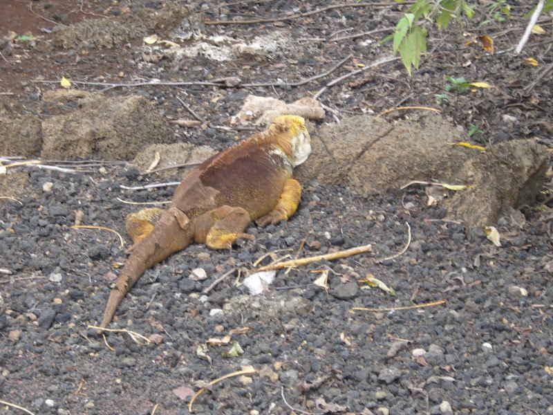 Iguana terrestre en Santa Cruz.