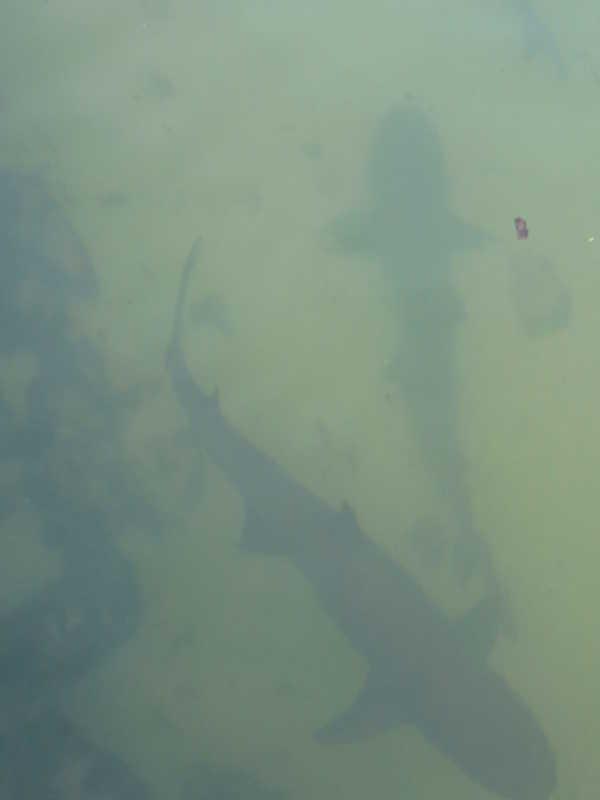 Tiburones en el islote Tintoreras.