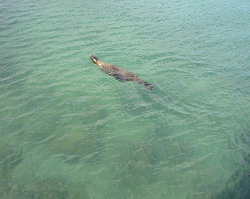 Lobo marino en el mar nadando.
