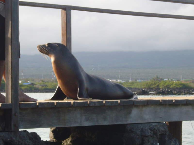 Lobo marino cerca de Puerto Villamil, Isabela.
