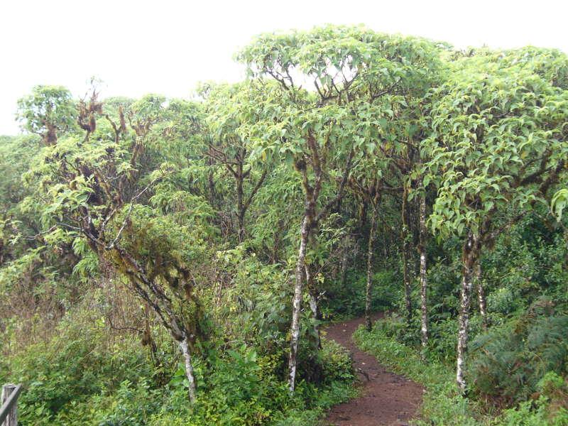 Bosque de Scalesia en Santa Cruz.