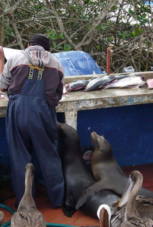 Lobos marinos en el puerto de Puerto Ayora.