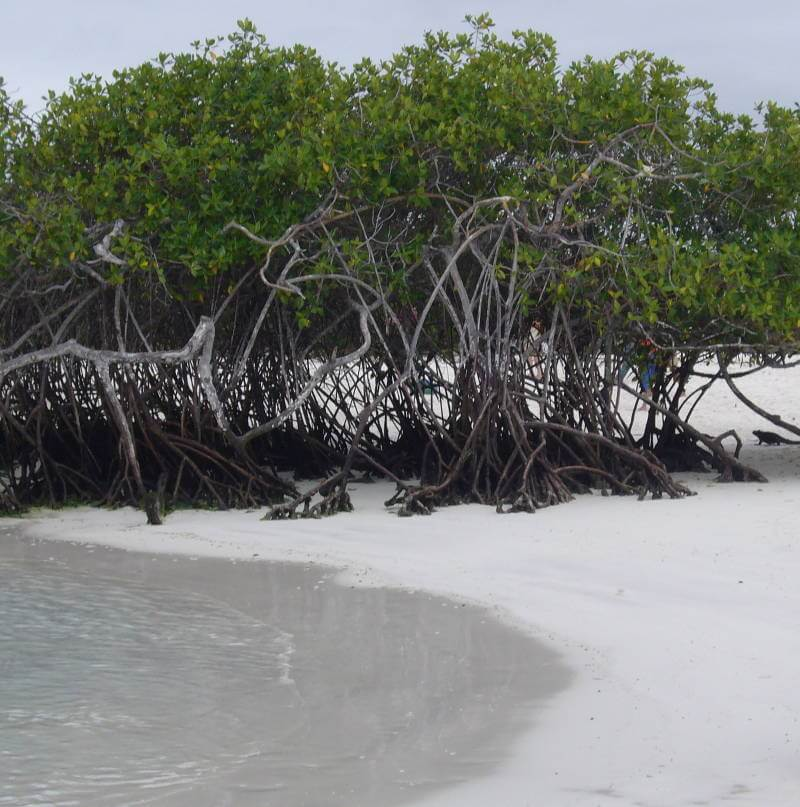 Manglares, Bahía Tortuga.