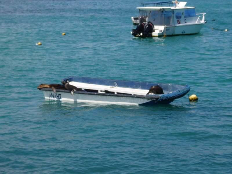 Lobo marino dentro de una barco.