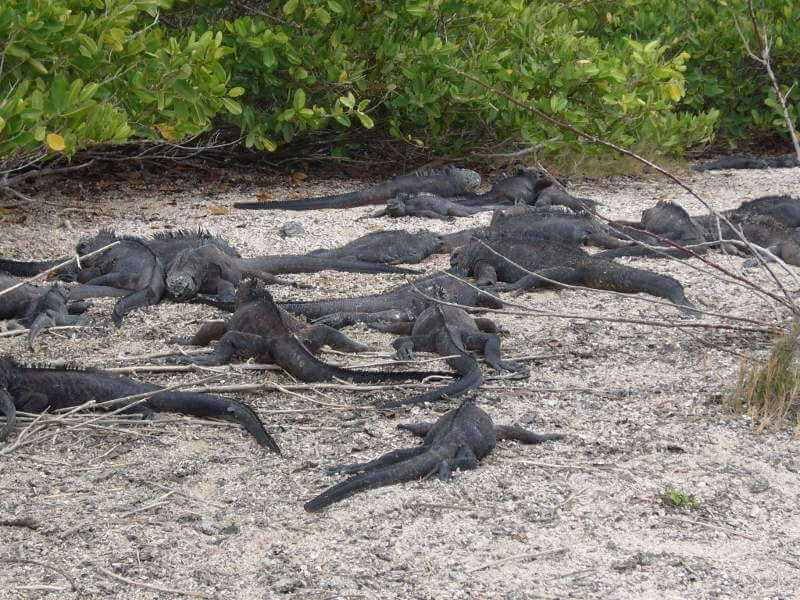 Iguanas marinas en Bahía Tortuga.