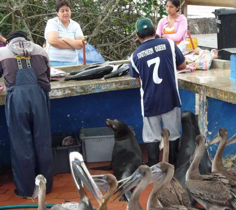 Pelícanos pardos y lobos marinos en el muelle del pescador, Santa Cruz.