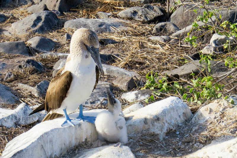 Piqueros de patas azules, isla Floreana.