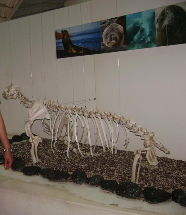 Esqueleto de un lobo marino.