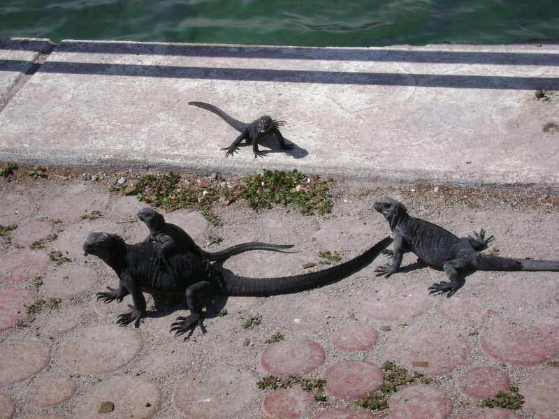 Iguanas marinas en Puerto Ayora.